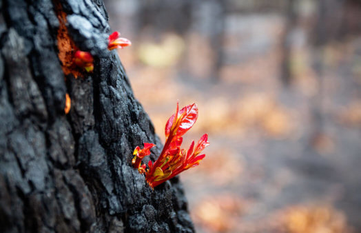 Regrowth on a tree after a bushfire showing resilience - istock